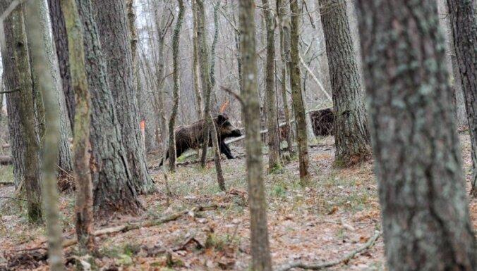 Чума свиней уже на подступах к Риге: мрут кабаны в Гаркалне и возле Елгавы