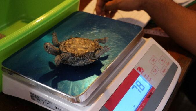 На Галапагосы возвращается черепаха с легендарным либидо
