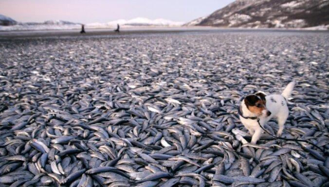На пляже Норвегии обнаружены тысячи дохлых селедок
