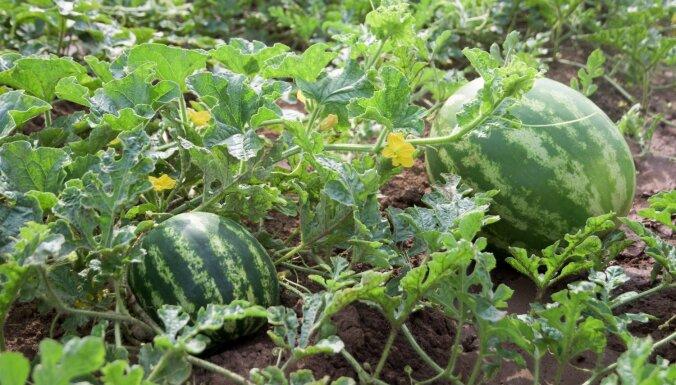 Новый урожай: чем опасны арбузы