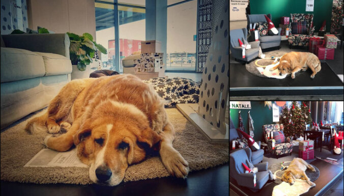ФОТО. В шоуруме IKEA в Италии живут бездомные собаки