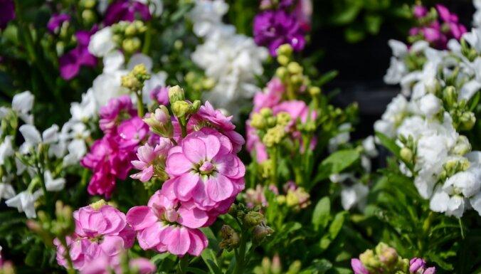 Kuras puķes var uzreiz sēt dobēs