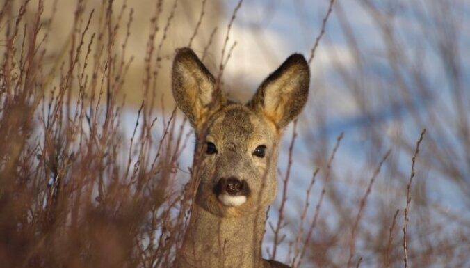 Saeima tomēr neatbalsta loku medību atļaušanu Latvijā