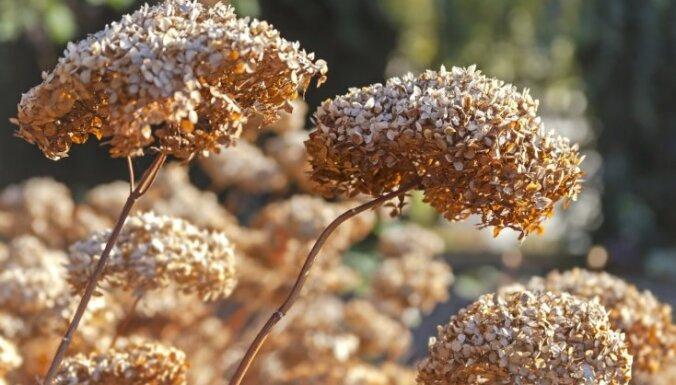 Rudens vai pavasaris: kad ir piemērotākais laiks hortenziju pārstādīšanai?
