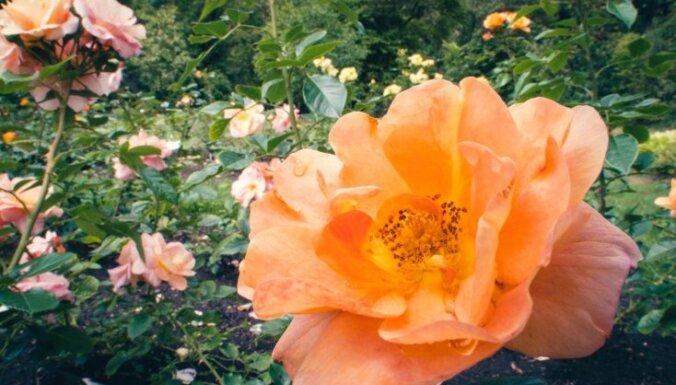 Nacionālais botāniskais dārzs Salaspilī aicina svinēt Rožu dienu