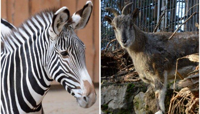 Neīstās aitas un pasaulē lielākās zebras – jaunpienācēji Rīgas zoo
