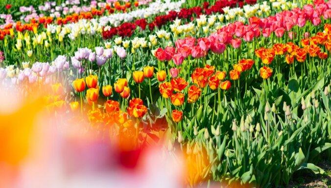 ФОТО. Прямо как в Голландии: Потрясающие поля тюльпанов в Даугмале