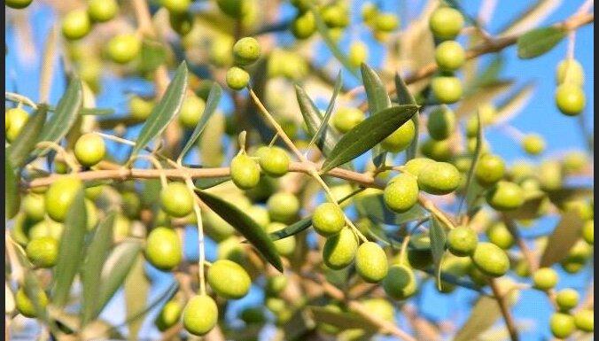 Греческие вандалы выкорчевали священную оливу Платона