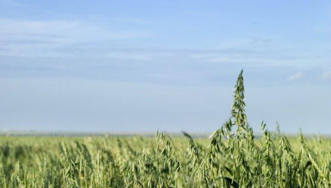 В Латвии вывели новый сорт овса в честь столетия государства