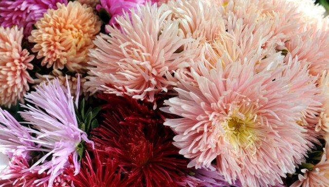 Pašmāju rudens ziedi tautas medicīnā. Kā asteru, samteņu un viršu tēja uzlabo veselību?