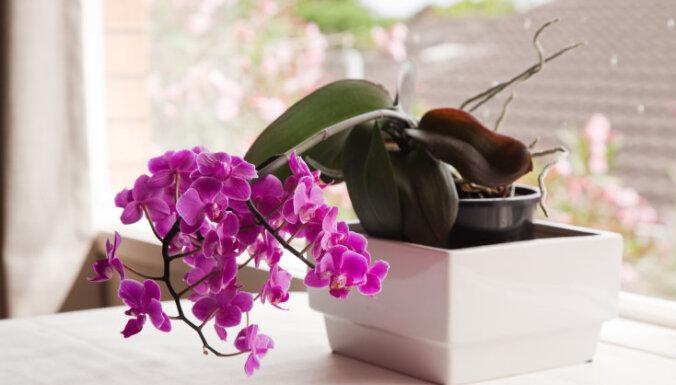 Kas jāzina par orhideju mēslošanu?
