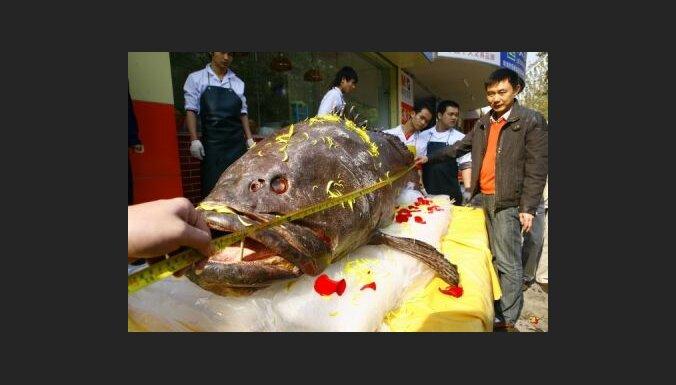 309 kg smagā zivs Ķīnā