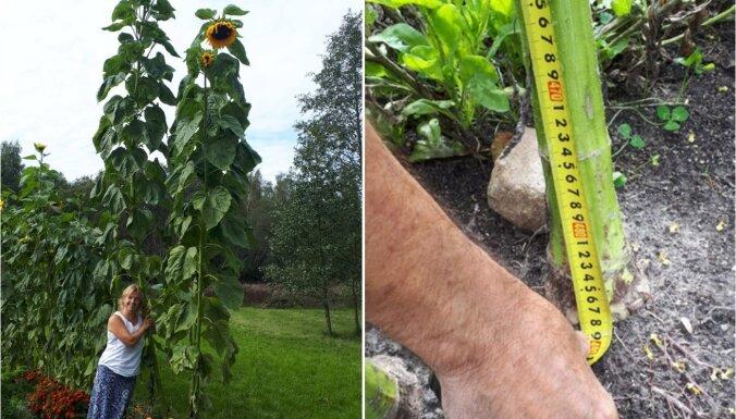 Vai Latvijas rekords? Latgalē izaudzēta 4,90 metrus gara saulespuķe