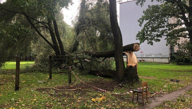 Из Риги за год вывезено 167 сломанных деревьев. Что делать в случае, если дерево опасно?
