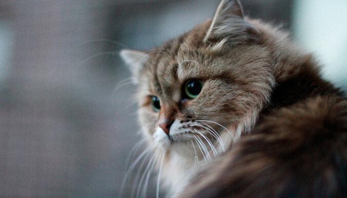 Kaķu šķirne: Sibīrijas meža kaķis