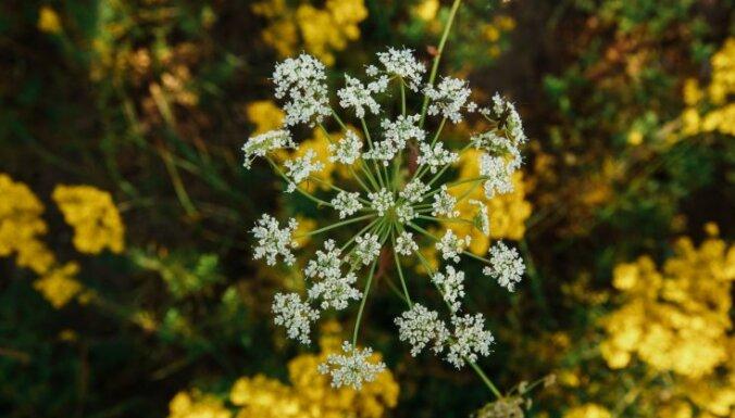 Baudīt tikai ar acīm: pieci indīgi, Latvijā sastopami augi