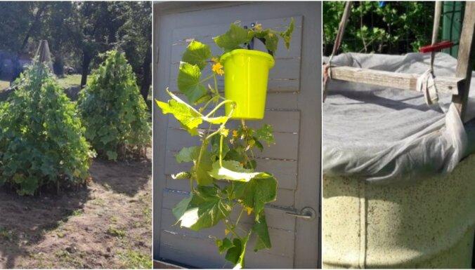 Iedvesmas deva: pašmāju pieredzes stāsti, kā radoši audzēt gurķus