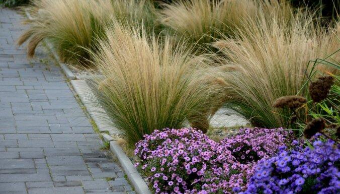 Gaisīgā dārza rota – graudzāles. Padomi to audzēšanā