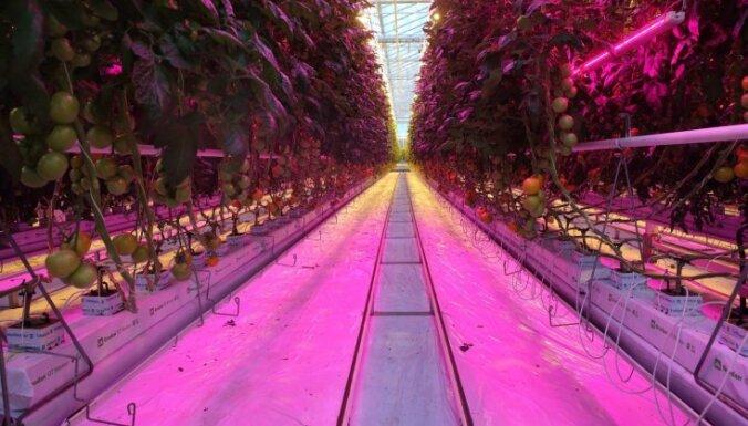 Foto: Miljonu investīcijas milzu tomātu plantācijā austrumu pierobežā