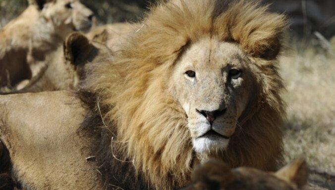 Pēc žirafes nogalināšanas Kopenhāgenas zoodārzā iemidzināti četri lauvas