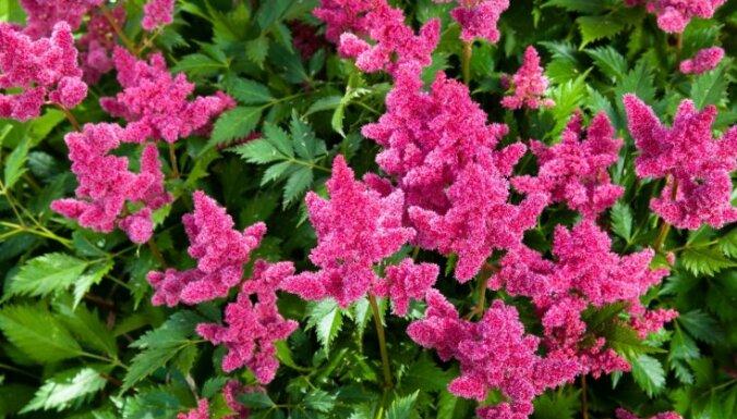 Koši augi, kas piemēroti ēnainajām dārza vietām