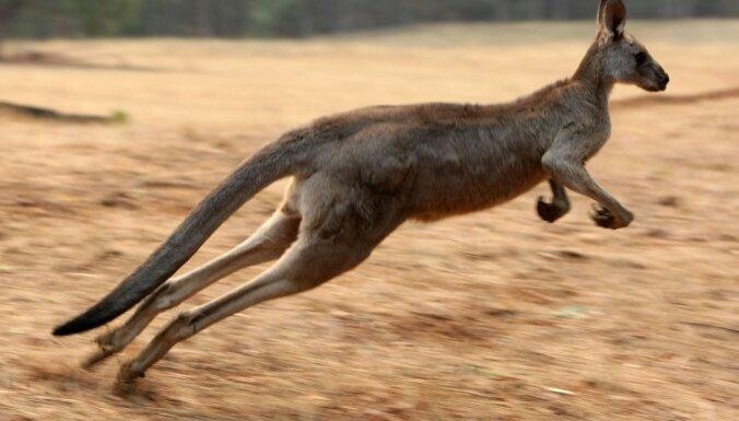 ВИДЕО: Холодная зима в Австралии - кенгуру резвятся в снегу