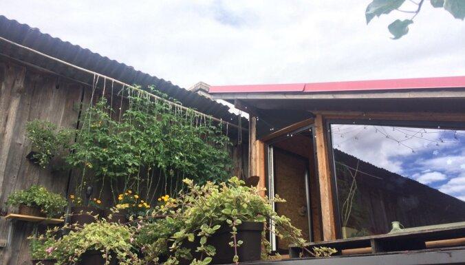 Pieredzes stāsts par ķirštomātu audzēšanu uz pirts jumta