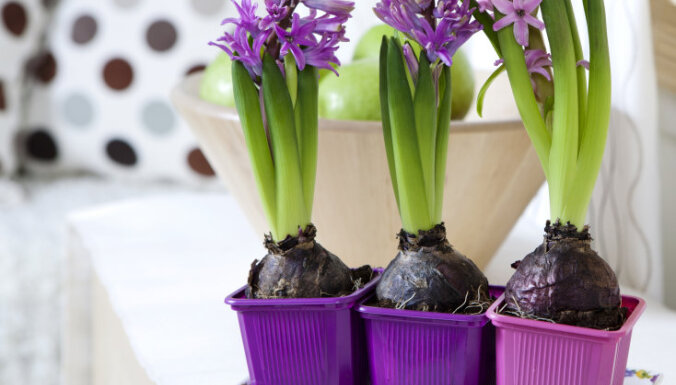Hiacintes podiņos - pirmās pavasara smaržas mājoklī
