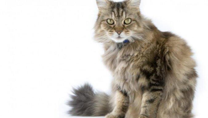 Desmit draudzīgas kaķu šķirnes ģimenei ar bērniem