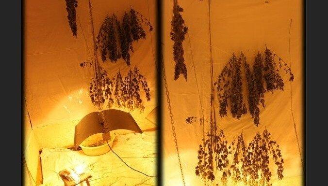 Dzīvoklī Daugavpilī uziet marihuānas audzētavu
