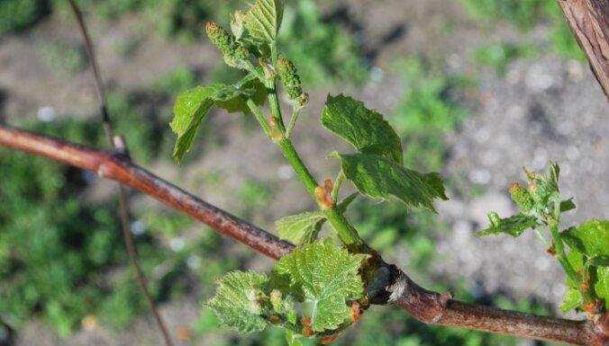 Vīnogu ķekari dārzā: vietas izraudzīšana un stādīšana