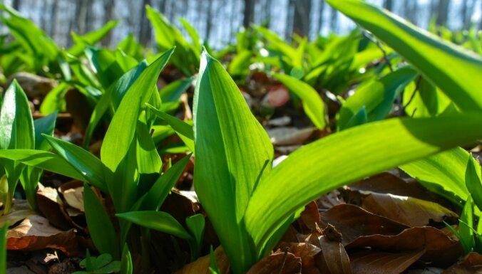 DAP: Savvaļā augošu lakšu plūkšana, griešana vai izrakšana ir aizliegta