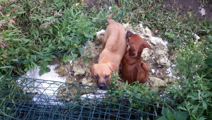 Cietsirdīga saimniece draud nogalināt kucēnus; PVD atņem 18 suņus
