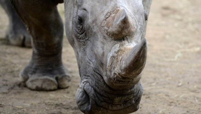 Ученые научились подделывать рог носорога, чтобы спасти животных от браконьеров