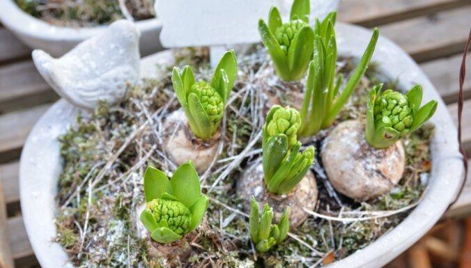 No augu izvēles līdz stādīšanai – kā veidot pavasara augu kompozīciju traukā