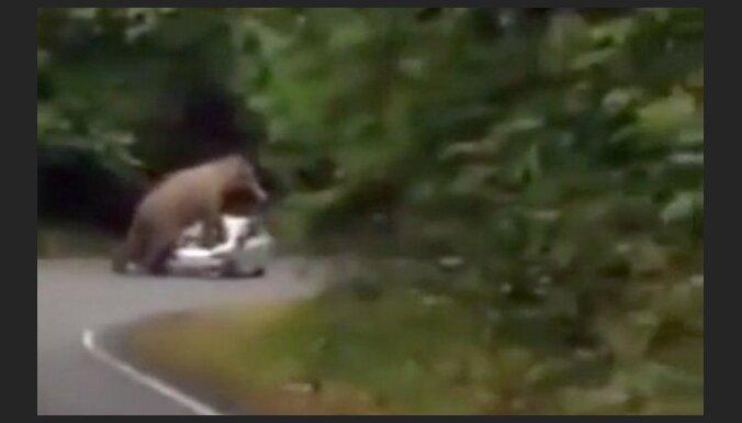 Video: Zilonis uzkāpj un samīda tūristu auto