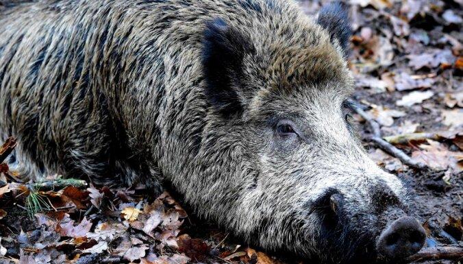 ВИДЕО. В литовском резервате на видео сняли купающихся в грязи кабанов