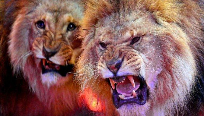 Украинские дипломаты спасли львов, застрявших на латвийско-российской границе