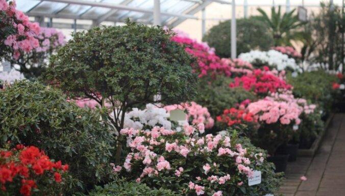 Foto: Botāniskajā dārzā neticami agri sācies acāliju ziedonis