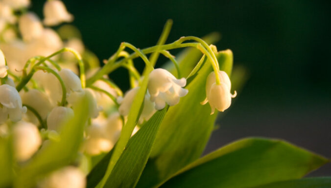 Pavasara ziedi, kas atdzīvinās jebkuru interjeru