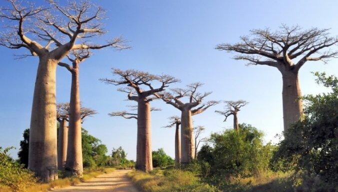 Viltus dziedniece ar stāstiem par svēto koku izkrāpj miljonus