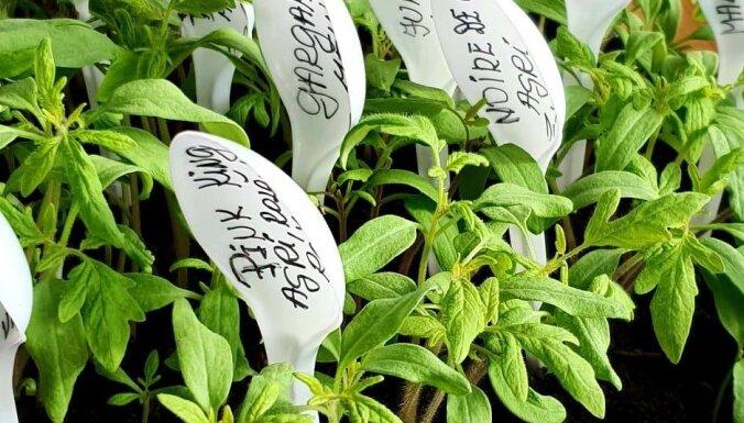 Pieredzes stāsts: radoša ideja tomātu šķirņu marķēšanai