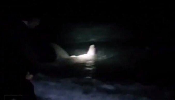 Video: ASV zvejnieki palīdz dzemdēt milzu haizivij