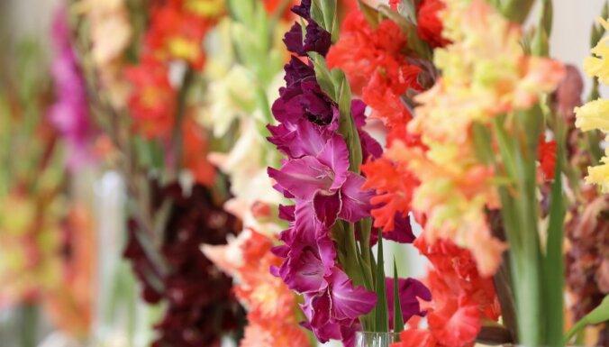 Foto: Dabas muzejā greznojas aptuveni 180 dažādu krāsu gladiolas