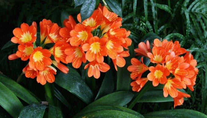 Oranžo ziedu īpašnieces klīvijas: kā tām izdabāt