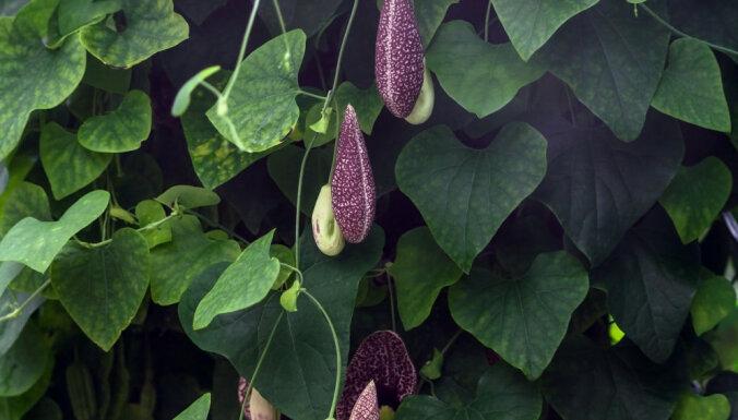 Пять вьющихся растений, которые украсят фасад вашего дома