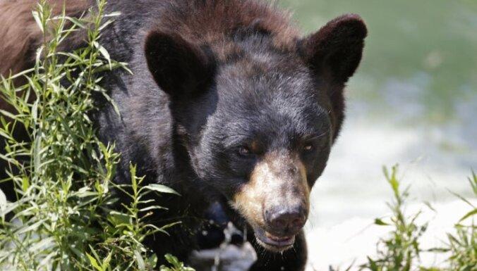 Черный медведь загрыз юного участника забега на Аляске