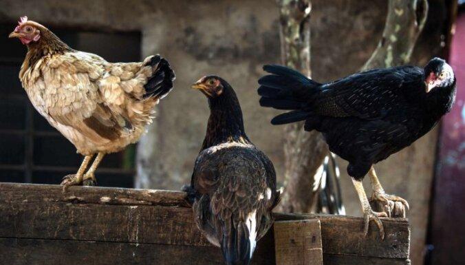 Putnu gripas draudi: stājas spēkā aizliegums turēt mājputnus ārpus kūtīm