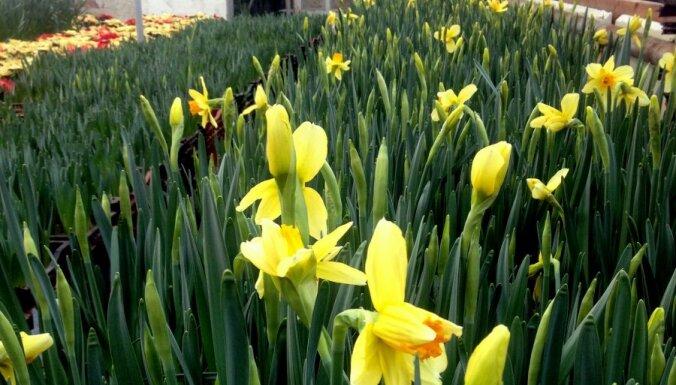 Valentīndienā 'Kliģēnos' krāšņi zied tulpes un narcises