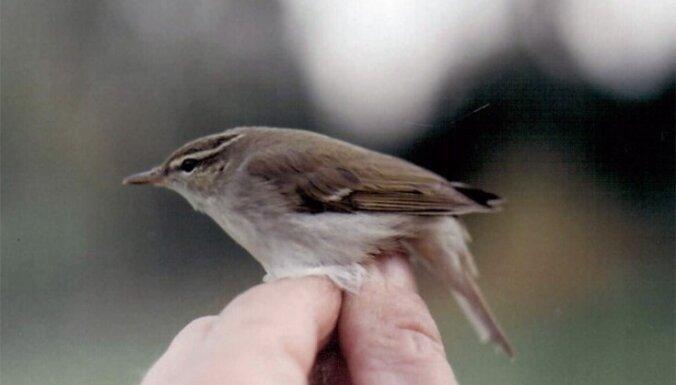 В Латвии замечен новый вид птиц — пеночка-таловка
